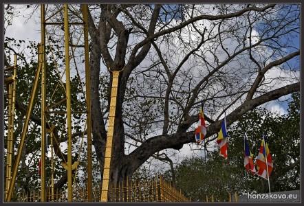 Posvátná smokvoň Srí Maha Bodhi je odnoží stromu, pod kterým dosáhl budha osvícení